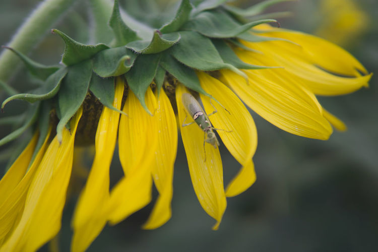 Close-up of yellow insect on sunflower