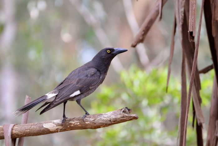 New lens.. Bird Animals In The Wild Animal Themes Perching Animal Wildlife Focus On Foreground One Animal Day No People Nature Raven - Bird Outdoors Blackbird Close-up