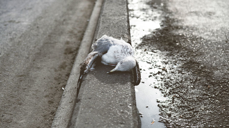 Dead seagull on road