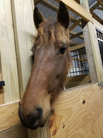 Athena One Animal Animal Themes No People Domestic Animals Animals Horse Takingpictures Takingphotos Photography Horse Photography Country Living Horse Photography  Country Living Horselife Anamals Animal Head  Barn Taking Pictures Photos