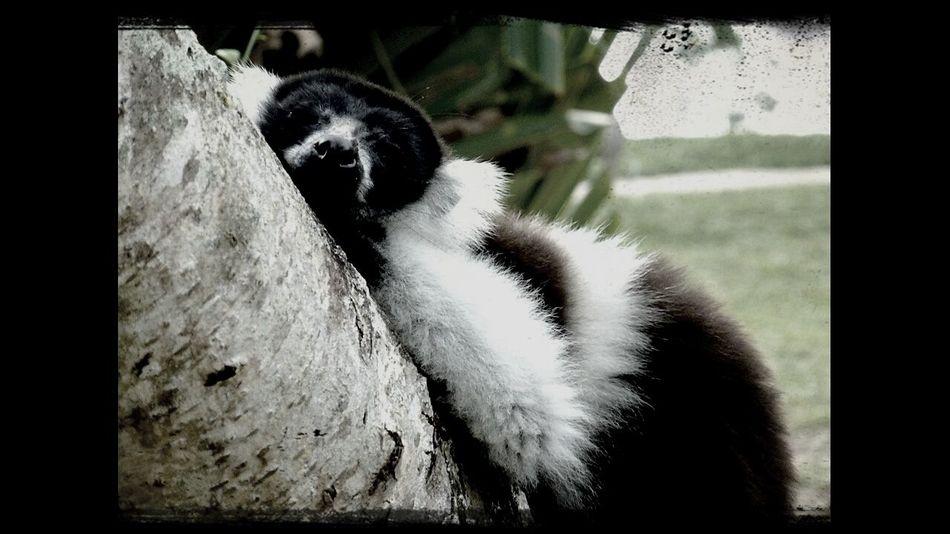 madagascar lazy lemur