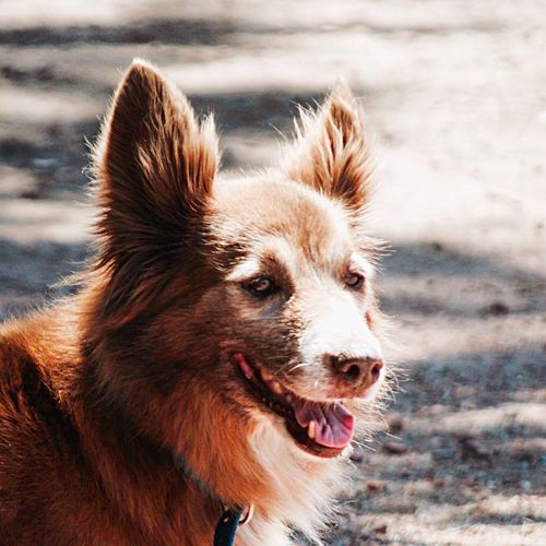 Pet Portraits One Animal Dog Animal Themes Domestic Animals Pets Day Close-up Backlight Backlighting Perro Perros❤ Perrito Palermo Buenosaires Redhead Redhair Smiling Dogs Of EyeEm Dog Love Dogslife The Week On EyeEm