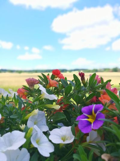 Flower Nature Plant Flower Head Cloud - Sky Beauty In Nature Fragility No People Day Growth Freshness Outdoors Sky Petunia Multi Color Flowers