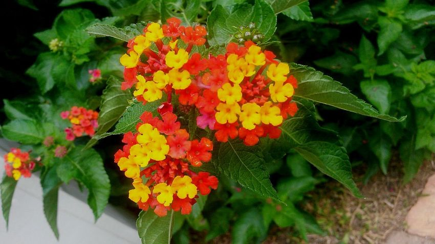 The Week On EyeEm No People Nature Close-up Beauty In Nature Outdoors Day Pink Color Growth Purple Flower Uniqueness Lantana Lantana Flower