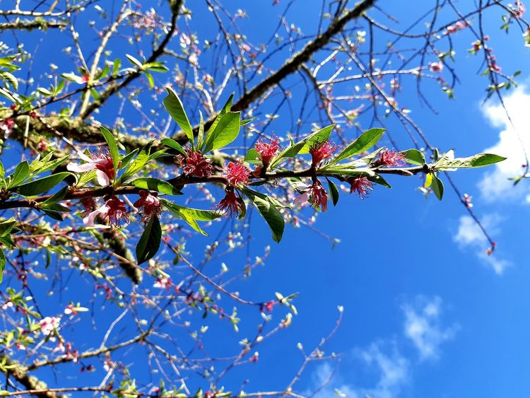 😍🌺💙🌿sat under my peach tree today and I thought of you😊 Selected For Partner Selected For Premium Peaches🍑 My Peach Tree Delicate Beauty In My Garden Copy Space Tranquility Peach Tree Peach Blossoms Just Peachy Blue Sky Spring Growth My Spring In New Zealand Happiness ♡ Tree Flower Branch Clear Sky Blue Springtime Fruit Leaf Blossom Sky Fruit Tree Twig Orchard Plant Life Botany
