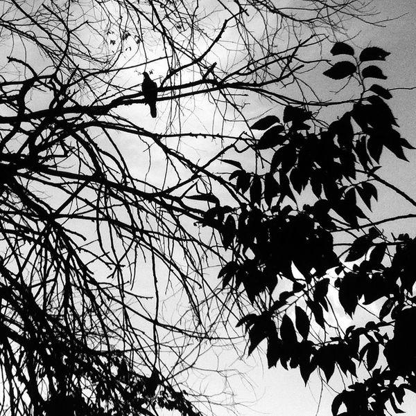 Blackandwhite Bird Silhouette