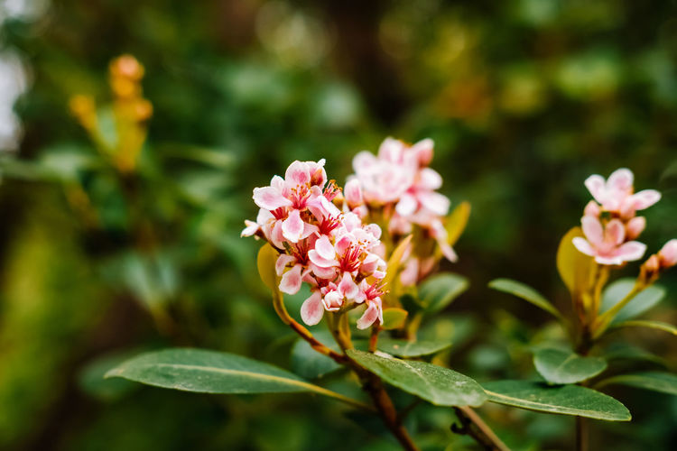 Flowering Plant Flower Plant Freshness Petal Vulnerability  Fragility Beauty In Nature Pink Color Leaf Growth Plant Part Close-up Flower Head Inflorescence Nature Focus On Foreground Day No People Outdoors