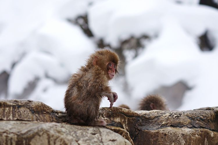 Close-up of baby snow monkey