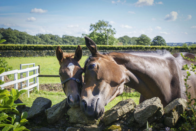 Day Domestic Animals Dry Stone Wall Field Foal Foal And Mare Foal In Field Horse Horse Photography  Mammal Outdoors Sunny Day