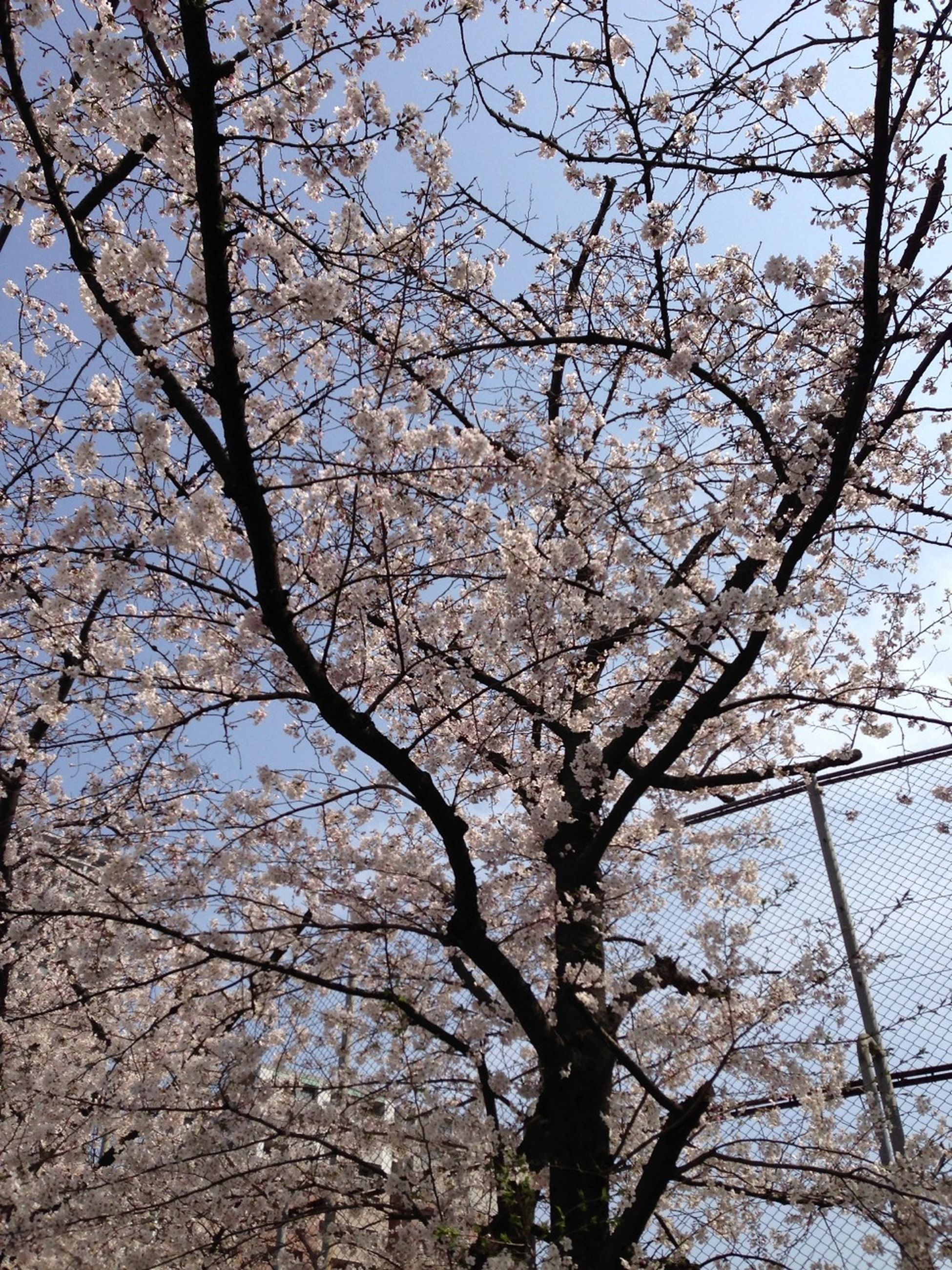 tree, branch, low angle view, growth, nature, beauty in nature, sky, tranquility, bare tree, day, flower, outdoors, no people, clear sky, scenics, tree trunk, cherry blossom, sunlight, blossom, tranquil scene
