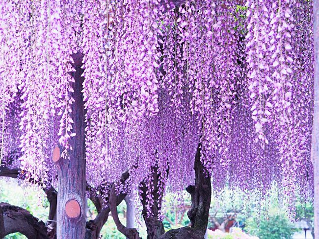 Wisteria Flower Purple Blossom Nature Beauty In Nature Growth Springtime Freshness Fragility Blooming Wisteria Flowers 藤の花 Spring Flowers Purple Flower Japanese Garden Kameido Tenjin 亀戸天神 Japanese Photography Japanese Landscape Tokyo,Japan Olympus Om-d E-m10
