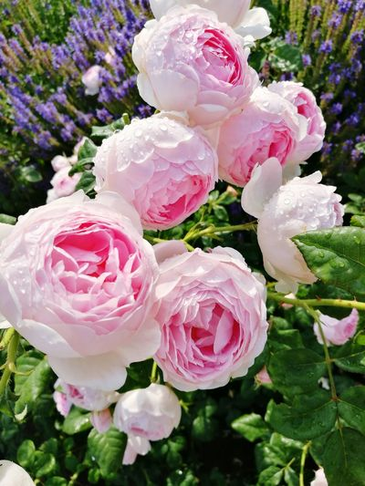 Botanikos sodas VDU Pink Color Plant Roses #beautiful Beautifulplants Flower Head Flower