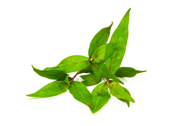 Fresh Vietnamese Coriander isolate on white background Isolated Bunch Close-up Coriander; Food Freshness Green Color Healthy; Ingredient Laksa Leaf Leaves Mint Nature Persicaria; Plant Polygonum Raw; Raw; Portion; Red; Reflection; Refreshment; Pomegranate; Plate; Nutrition; Organic; Peel; Pieces; Ripe; Seeds; Vegetarian; Vitamin; Vivid; White; Tropical; Tasty; Sour; Studio; Sweet; Taste; Nobody; Nature; Dessert; Delicious; Diet; Dieting; Eat; Cut; Col Taste; Vietnamese; White Background