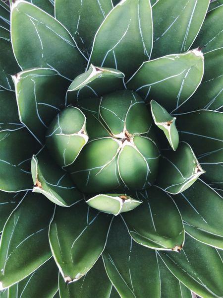 Beauty In Nature Plant Green Succulents Agavevictoriaereginae