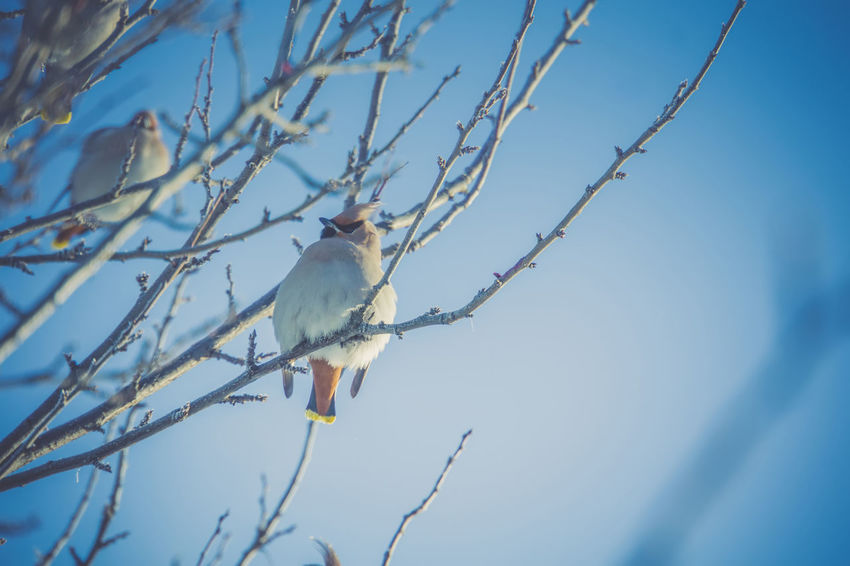 Animal Animal Themes Animal Wildlife Animals In The Wild Bare Tree Beauty In Nature Bird Blue Branch Day Low Angle View Nature No People One Animal Outdoors Perching Plant Sky Tree Vertebrate Waxwing Waxwings