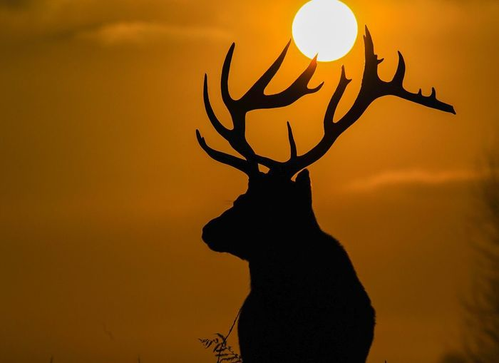 Close-up of silhouette deer against sky during sunset