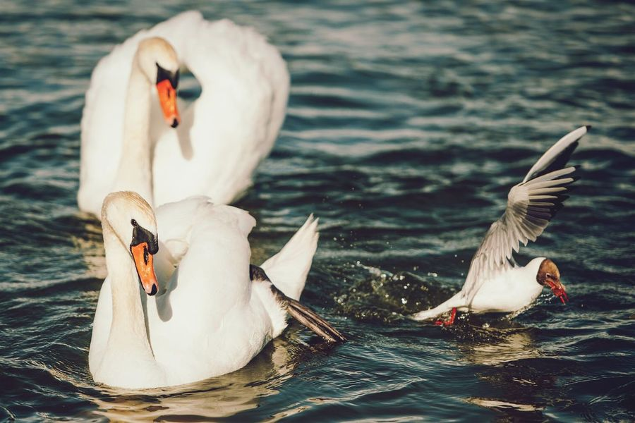 Swans Birds Open Edit Animals Thief Food Check This Out Lithuania Juodkrante Capture The Moment Picturing Individuality
