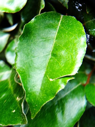 Leaf Green Color Close-up Nature Growth Day Freshness Beauty In Nature No People Plant Outdoors