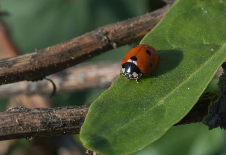 Animal Themes Animal Wildlife Animals In The Wild Close-up Day Focus On Foreground Insect Ladybug Leaf Nature No People One Animal Outdoors Tree
