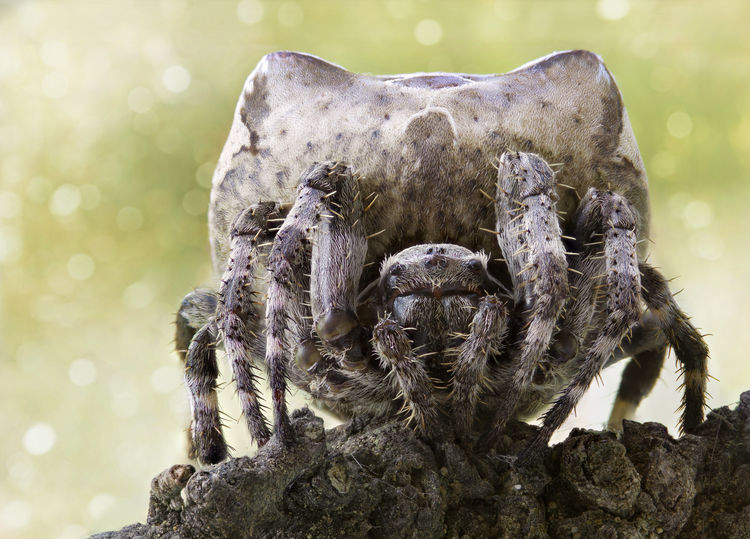 Araneus Grossus Macro Photography Nature Photography Spider Animals In The Wild Araneidae Beauty In Nature Bokeh Close-up Macro Nature No People