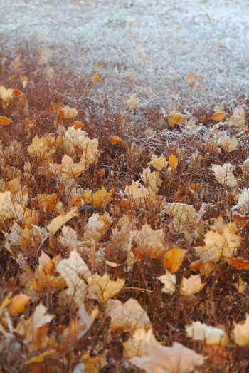 Clash of the seasons Autumn Autumn Colors Autumn Leafs Autumn Leaves Changing Weather Freezing Frost Nature Photography Winter Cold Days Cold Temperature Contrasting Colors Fragility Frosty Mornings Frosty Nature Season Change Subzero White Snow