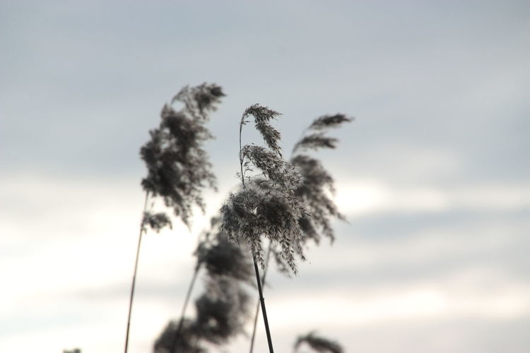 Nature Sky Silhouette Cloud - Sky No People Outdoors Day Low Angle View Beauty In Nature Close-up Reed Reeds Ear Of Reed Focus On Foreground Waterfront Lakeside Lakeside Beauty Lakesideview Shore Shore Plant Reed Plume Shades Of Winter