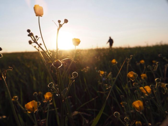 Yellow flowers growing in field at sunset