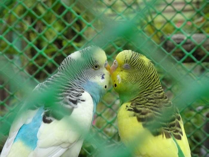 Affection Beauty In Nature Bird Cage Intimate Kiss Love Lovebirds LoveBirds ❤ Nature Secret Love