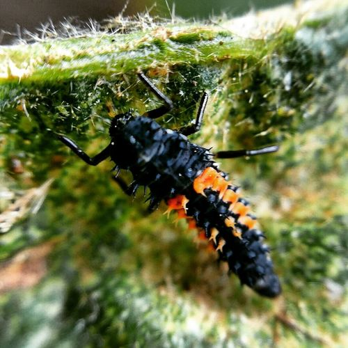 Lady bird larvae feeding on spider mite Insect Plant Animal Behavior Close-up Ladybird Ladybird Larvae Feeding  Spidermite