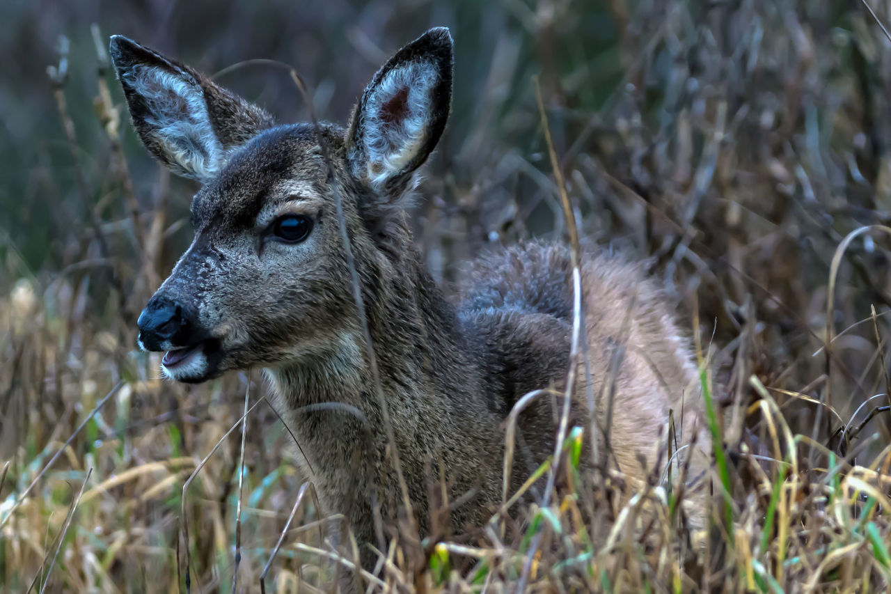 animals in the wild, animal wildlife, one animal, deer, animal themes, mammal, day, outdoors, no people, nature, grass, portrait, close-up