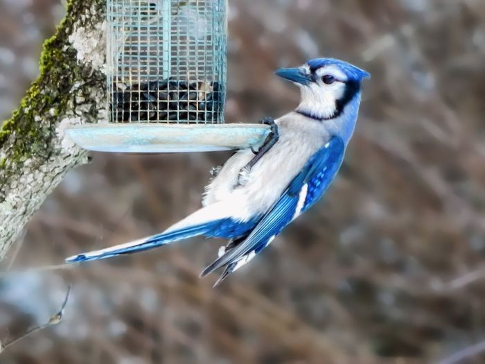 Beautiful blue bird perching on feeder