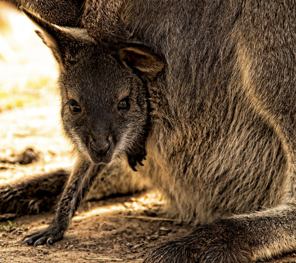 Close-up portrait of baby wallaby in mother's pouch