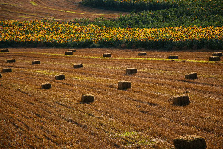 Agricultural Agriculture Autumn Background Bale  Bales Barley Brown Cloud Country Countryside Crop  Dry Farm Farming Farmland Field Food Forest Golden Grain Grass Green Grow Harvest Harvesting Hay Hay Bales Land Landscape Meadow Natural Nature Rural Scenic Sky Stack Straw Summer Sun Sunset Tree Yellow