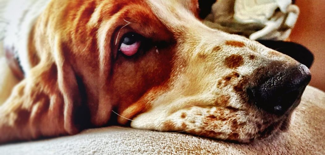 Dog Bassethound