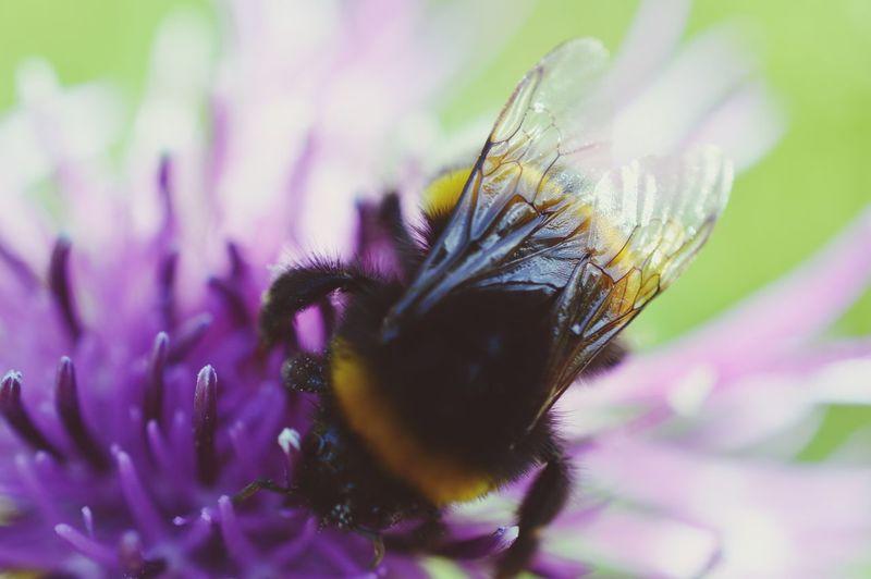Soaking Up The Sun Walking Around Micro Nature Bumblebee Wings Taking Photos EyeEm Best Shots EyeEm Nature Lover Enjoying The Sun Eye4photography