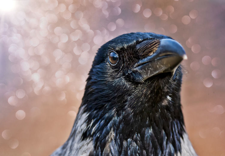 portrait of mature crow Animal Animal Themes One Animal Bird Vertebrate Animal Wildlife Animals In The Wild Close-up Focus On Foreground No People Beak Nature Animal Body Part Day Black Color Animal Head  Outdoors Looking Lens Flare Looking Away Animal Eye Crow Portrait