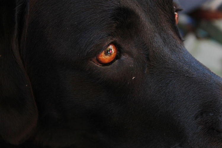 Animal Body Part Animal Eye Animal Themes Animals In The Wild Black Color Black Labrador Close-up Day Dog Domestic Animals Mammal No People One Animal Outdoors Pets Yellow Eyes