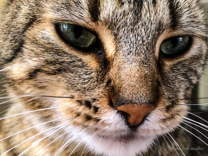 One Animal Animal Cat Close-up Pets Mammal Animal Themes Feline Domestic Domestic Animals Looking At Camera Animal Body Part Domestic Cat Portrait Whisker Eye Animal Head  Body Part Animal Eye No People