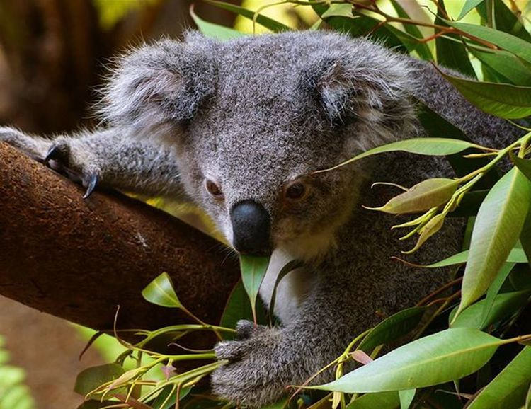 Koala at Blackbutt reserve Blackbuttreserve Blackbuttreservepark Koalabear Newy Newcastlelife Newyisok Igersnewy Newcastlelifestyle Mynewcastle Newcastlensw