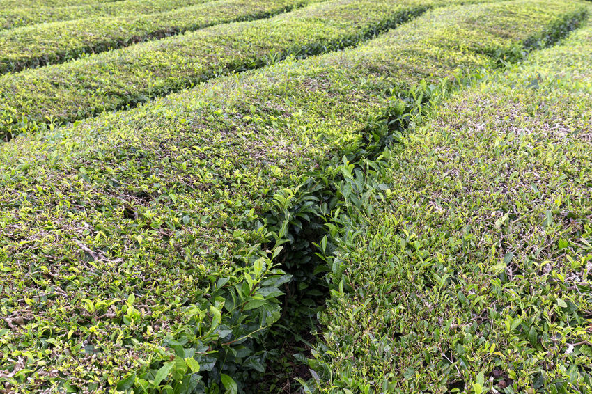 Paths between bushes of tea growing in the Azores. Tea Plantation Azores Portugal Green Production Organic Açores Sao Miguel Destination Europe Atlantic São Brás Agriculture Gorreana Tourism Tranquility Growth Field Landscape Plant No People Nature Black Tea Green Tea