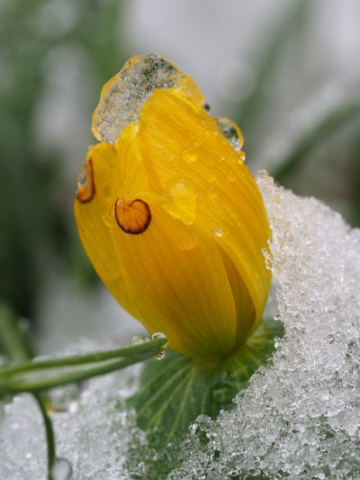 Ice Beauty In Nature Blooming Close-up Day Drop Flower Flower Head Focus On Foreground Fragility Freshness Frozen Flower Growth Nature No People One Animal Outdoors Plant Water Yellow