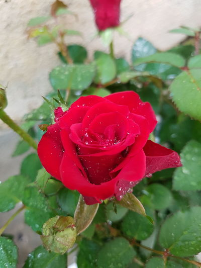 Red Rose Red