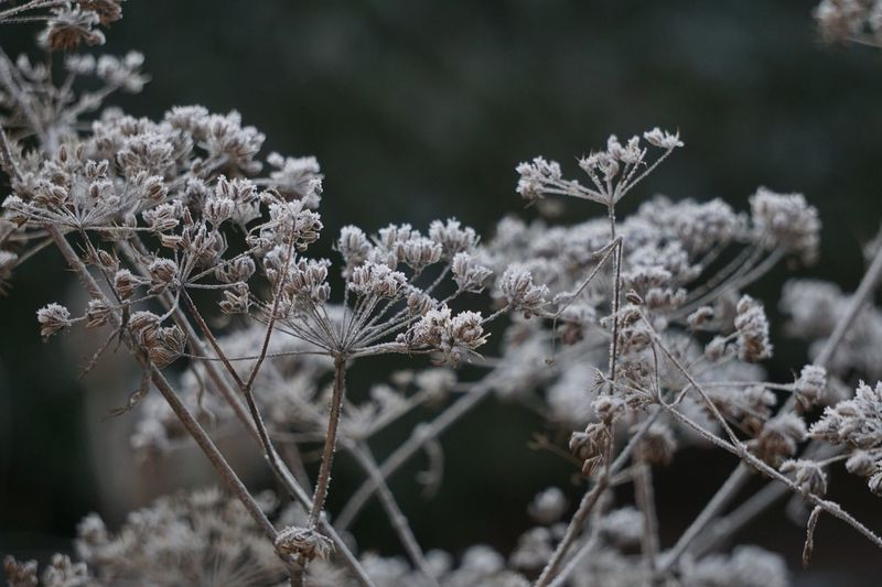 Close-Up Of Dry Plants During Winter