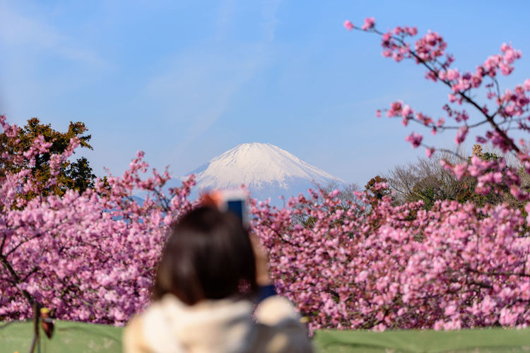 Plant Flower Beauty In Nature Flowering Plant Sky Growth Tree Nature Pink Color Blossom Freshness Day Fragility Mountain Cherry Blossom Springtime Scenics - Nature Rear View Volcano One Person Outdoors Cherry Tree Kawazu-zakura Mt.Fuji
