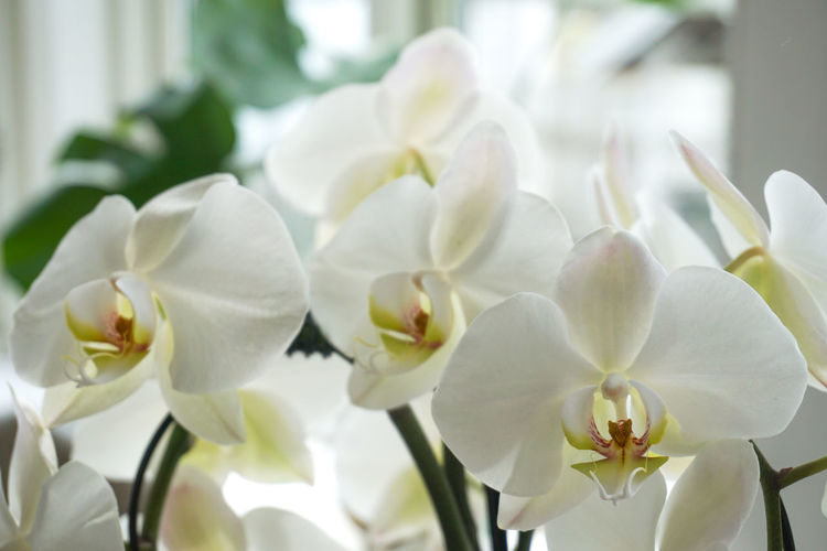 White orchid White White Flower White Flowers Close-up Flower Head Flower Petal Close-up Plant Orchid Blossom Plant Life In Bloom Botany Blooming