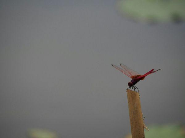 たそがれ。きみはなにを思い… 誰を思う… トンボ Dragonfly たそがれ Natural EyeEm Nature Lover EyeEm Gallery EyeEm Best Shots