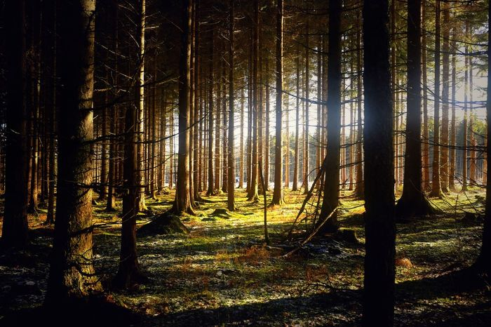 Forest Light Forest Nature omberg Sweden Tree Trunk Tree WoodLand Landscape Beauty In Nature Tranquil Scene Tranquility Outdoors Scenics No People Tree Area Nature Reserve Mountain The Great Outdoors