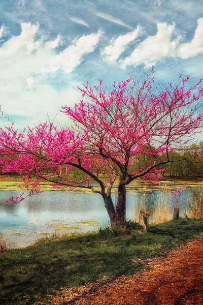 A tree in bloom by the shore on the lake. Beauty In Nature Cloud Cloud - Sky Day Grass Landscape Nature No People Outdoors Pink Color Scenics Sky Tranquil Scene Tranquility Tree Water The Great Outdoors With Adobe