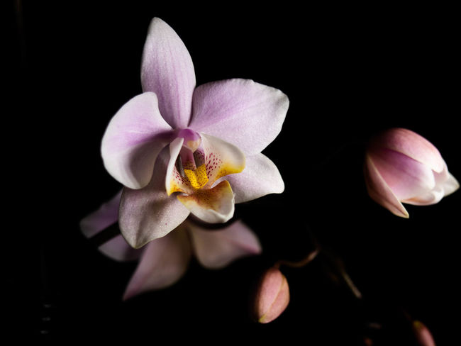 Flower Flowering Plant Fragility Freshness Petal Beauty In Nature Vulnerability  Plant Inflorescence Flower Head Studio Shot Black Background Close-up Nature Growth No People Pollen Indoors  Orchid Purple