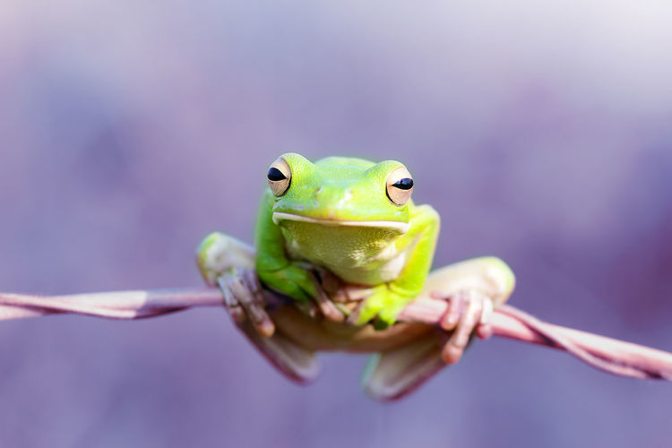 frogs, dumpy tree frogs Amphibian Animal Animal Eye Animal Head  Animal Themes Animal Wildlife Animals In The Wild Care Close-up Day Focus On Foreground Frog Front View Green Color Hand Holding Human Hand Looking At Camera Mouth Open One Animal Outdoors Reptile Vertebrate
